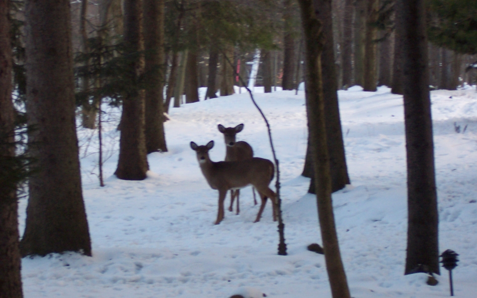 winter-deer