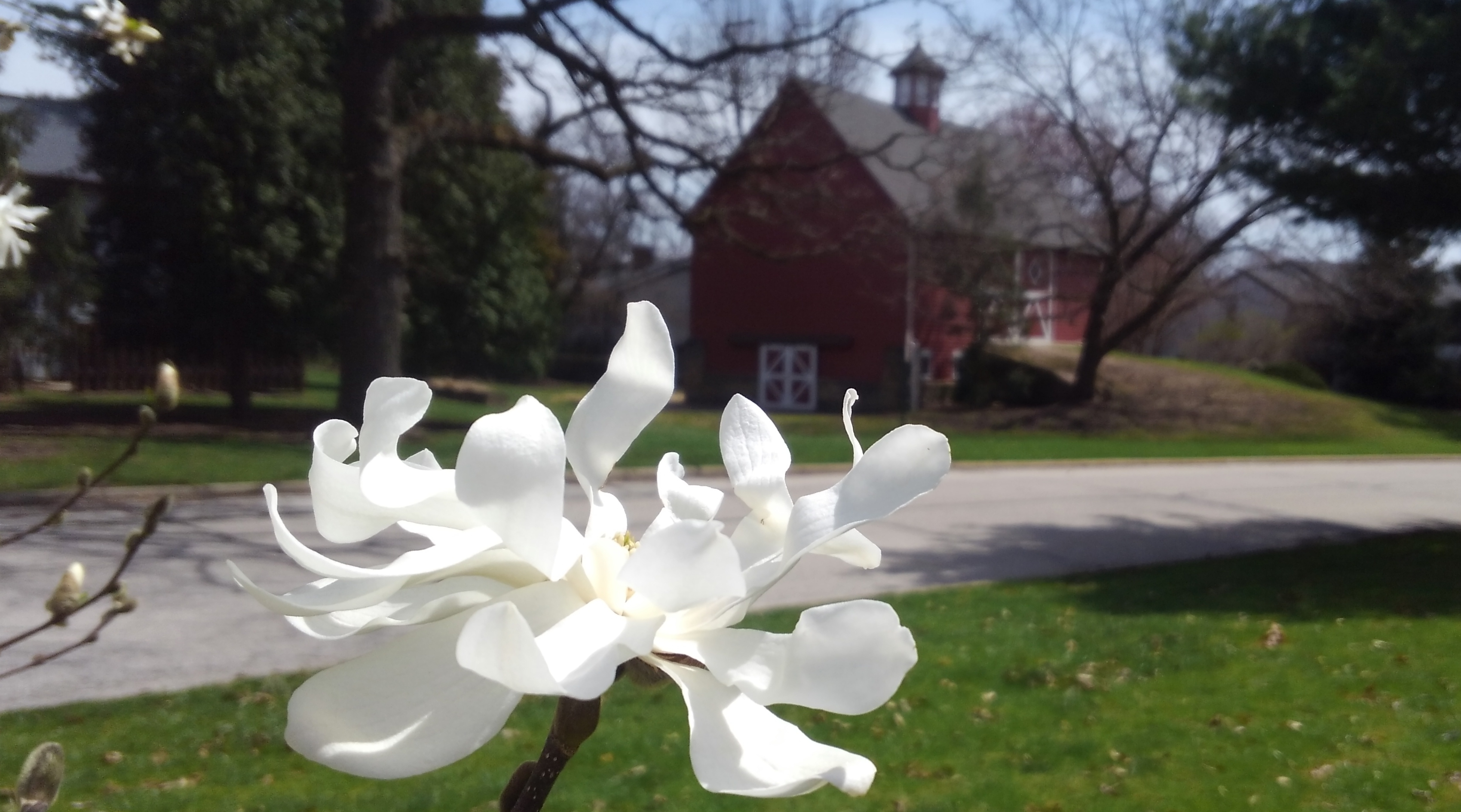 Magnolia and Barn